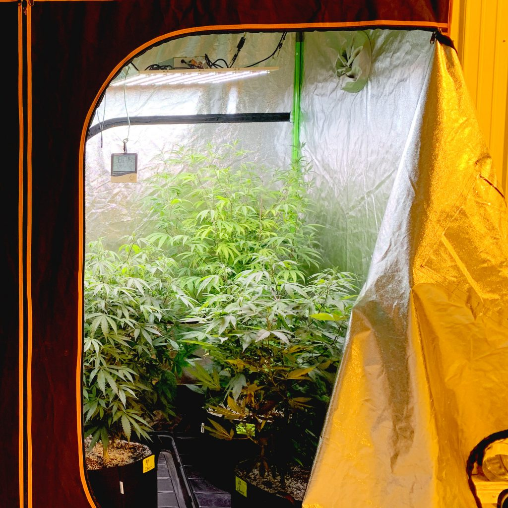 LED cannabis grow light in 4x4 grow tent
