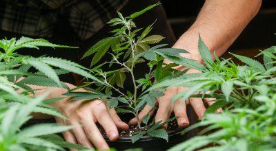 Indoor cannabis grow with emerald hammer grow light